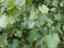 Muscadine Vine