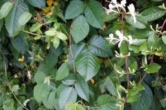 Poison Ivy & Honey Suckle