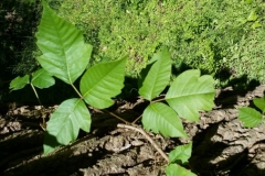 Poison-Ivy-Lead-Photo